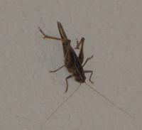 Insecto ortóptero, familiarmente Pepe