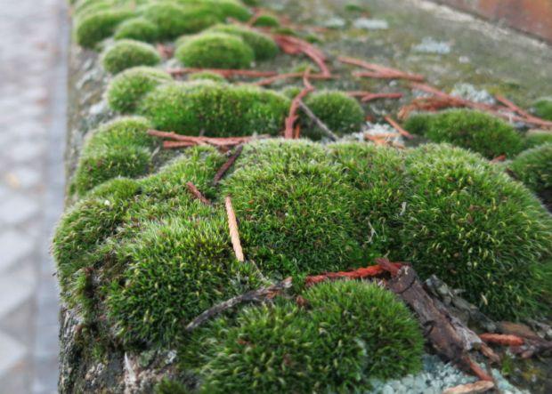 El musgo y los líquenes viven en simbiosis con las plantas