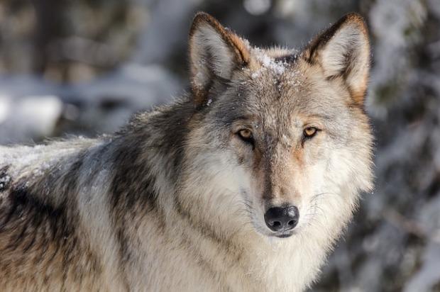 En la imagen aparece una loba, uno de los nombres alternativos de la Mujer Salvaje