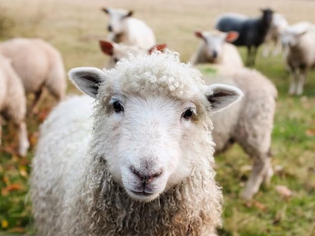 Una oveja en primer plano y al fondo un rebaño